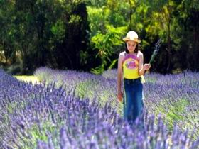 Brayfield Park Lavender Farm - Attractions Sydney