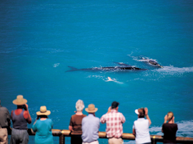 Whale Watching At Head Of Bight - Attractions Sydney