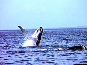 Whale Watching - Attractions Sydney