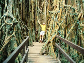Curtain Fig Tree - Attractions Sydney