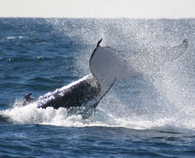 Sydney Eco Whale Watching - Attractions Sydney