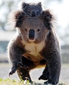 Koalas in Gunnedah - Attractions Sydney