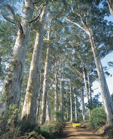 The Great Forest Trees Drive - Attractions Sydney