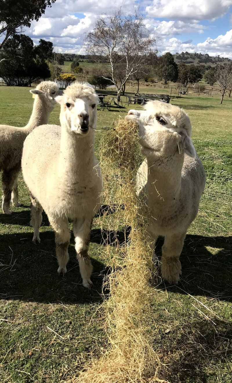 Clearview Alpacas - Attractions Sydney