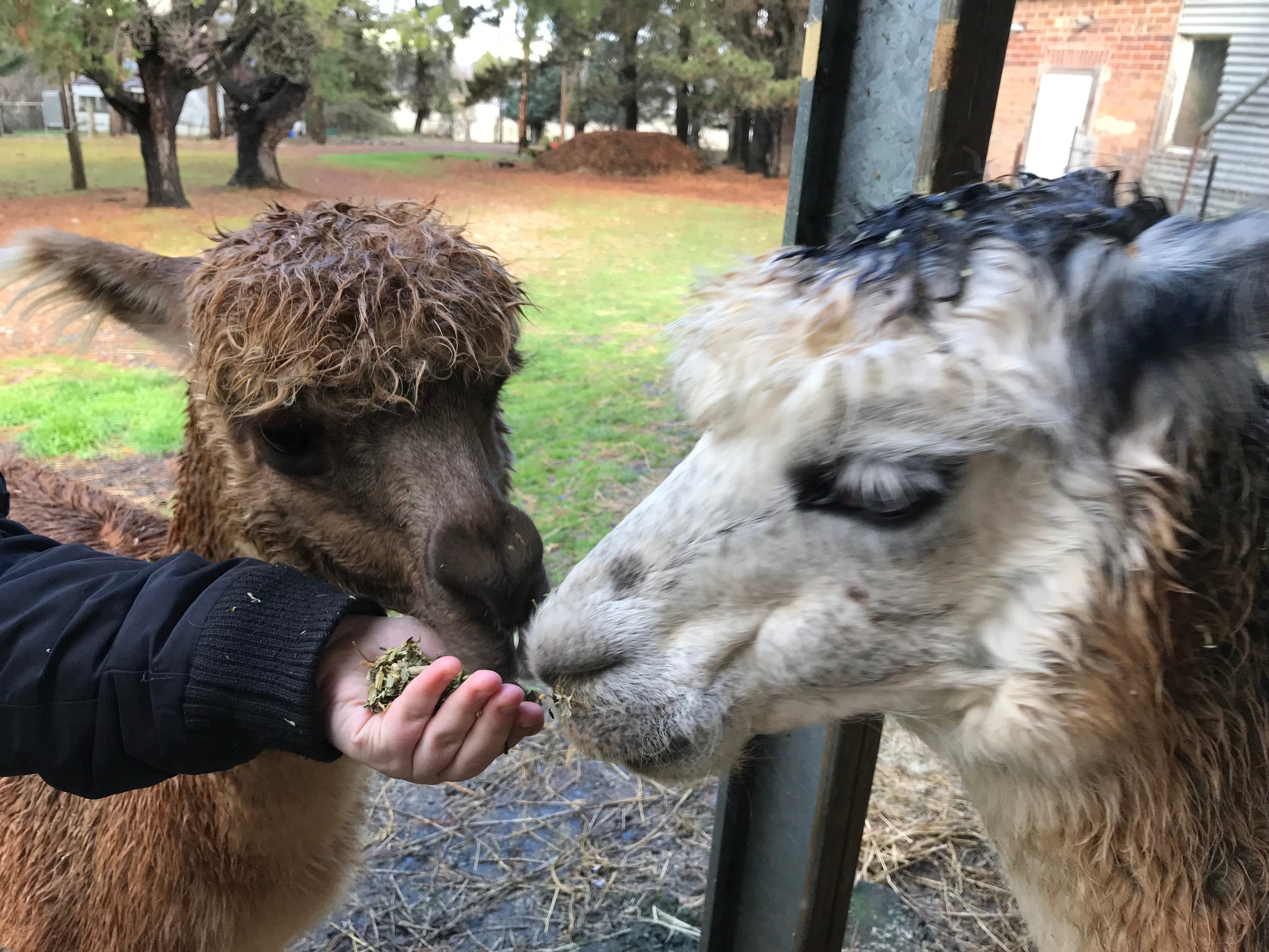 Alpaca Farm Experience at Crookwell - Attractions Sydney